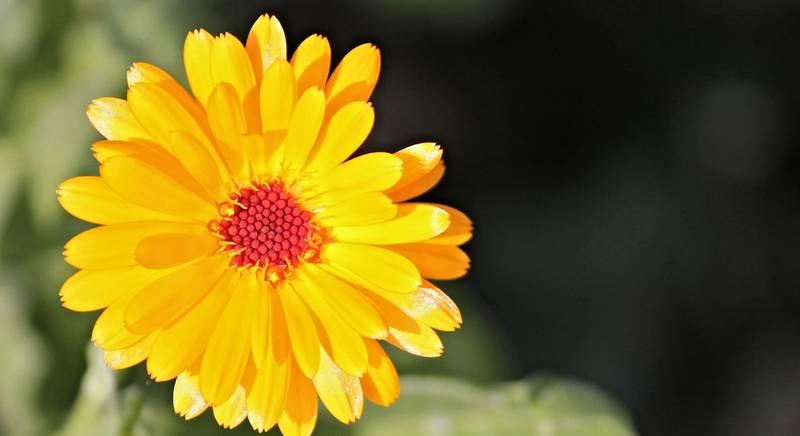 Календула: выращивание из семян. Полезный цветок для вашей клумбы!
