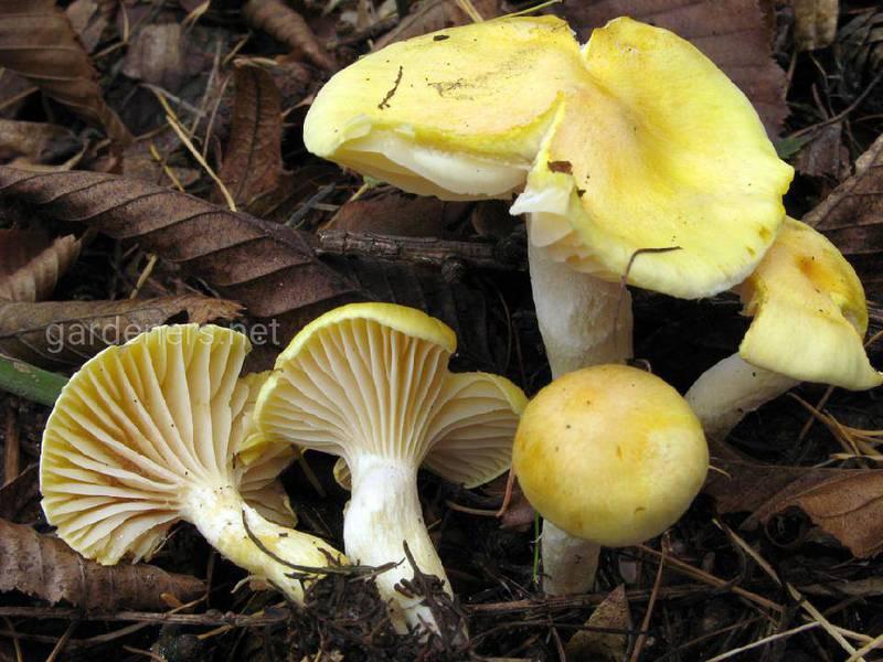 Гигрофор лиственничный