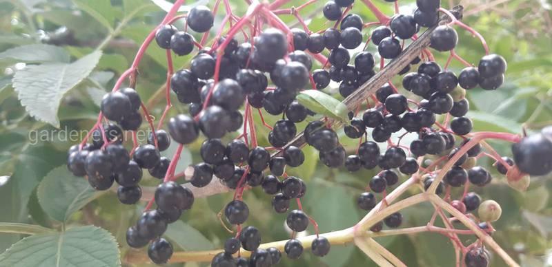 Как правильно выращивать и когда собирать урожай бузины? В чем опасность зеленых плодов?