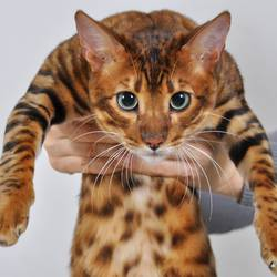 Royal Toygers cattery