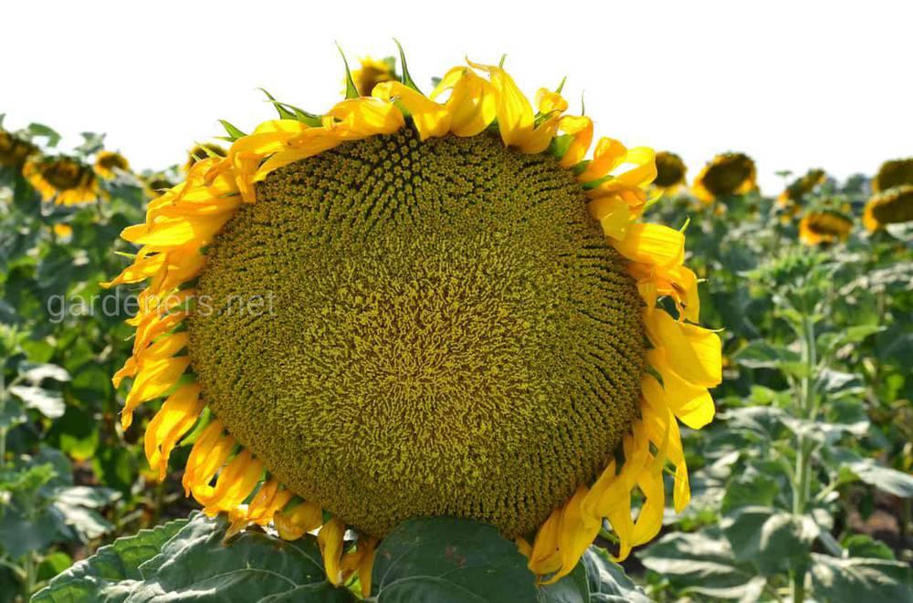 Ознаки зрілості соняшнику