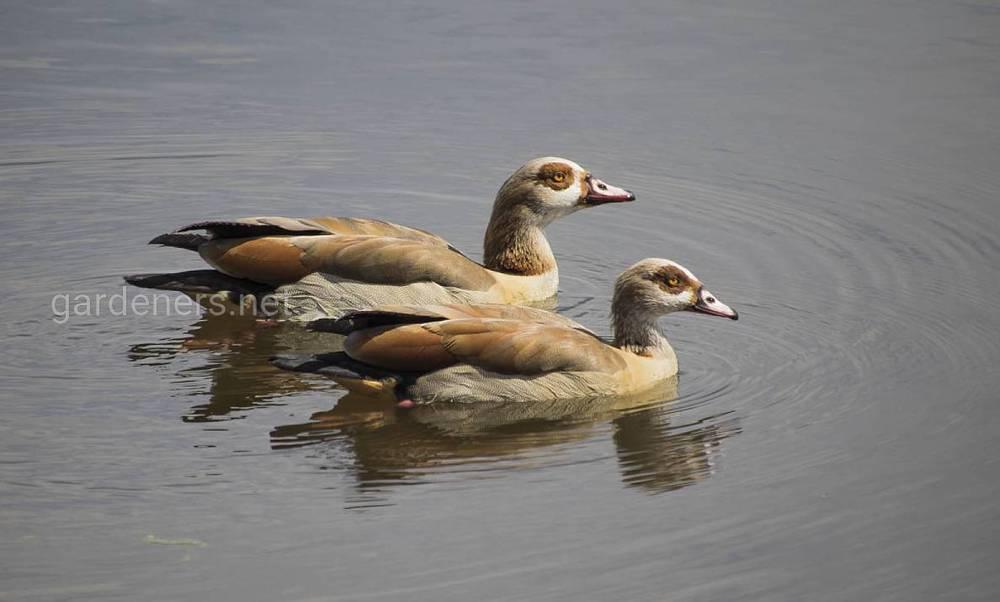 Єгипетські гуси