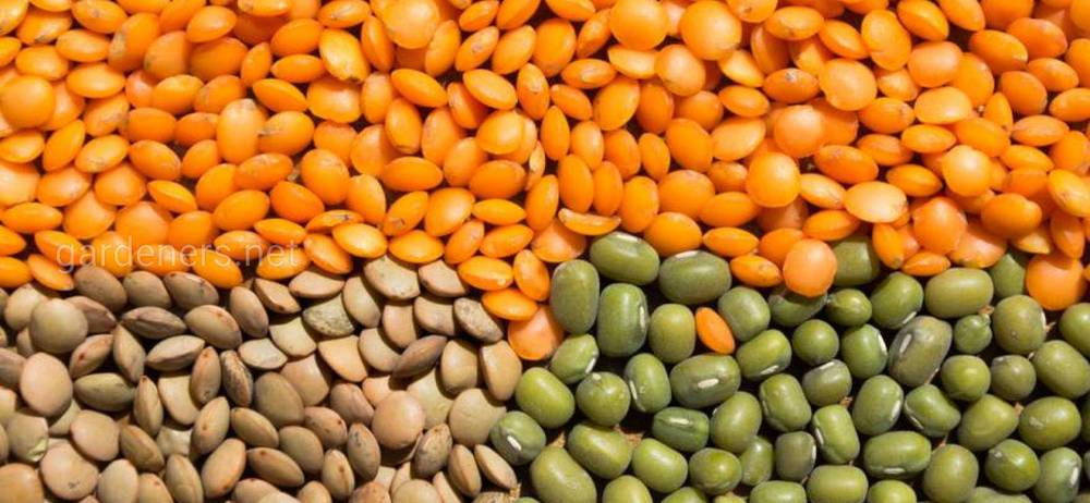 Лучшие сорта зеленого и желтого чечевицы