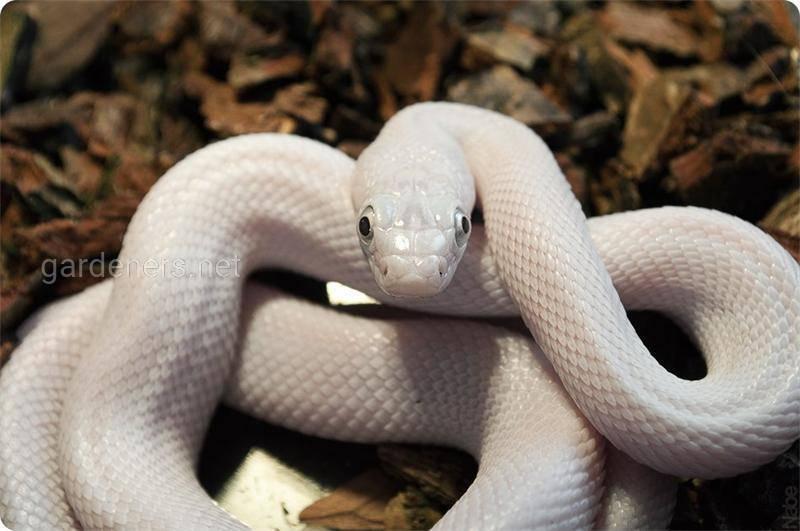 Змея Белый техасский полоз