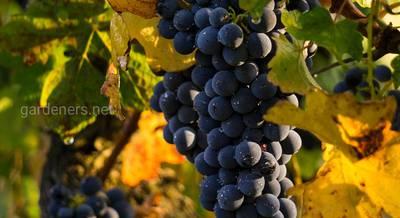 Морозостійкі сорти винограду