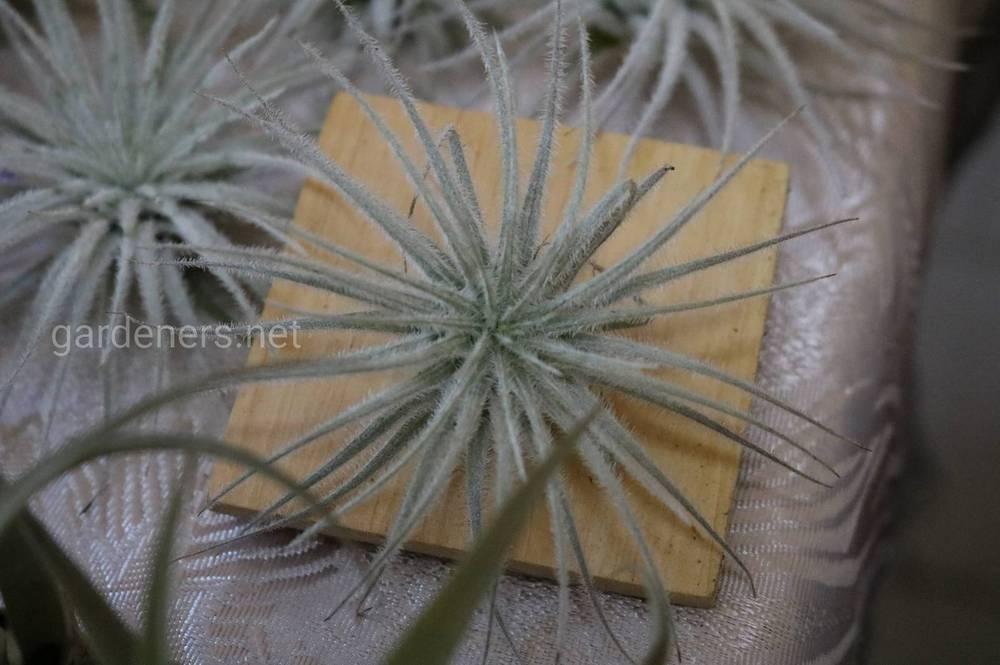 Комнатное растение Тилландсия