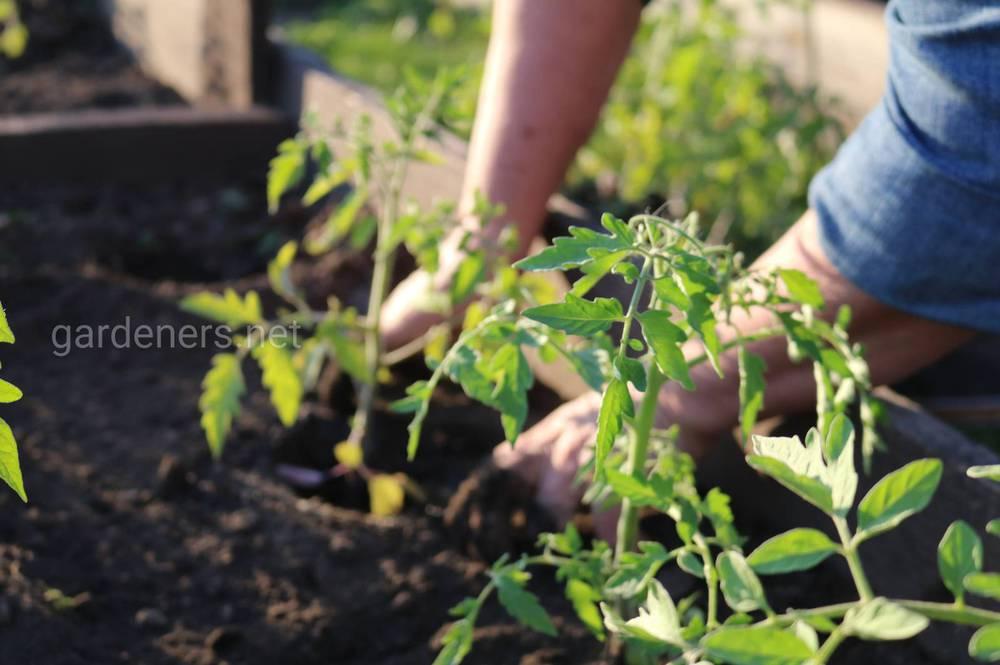 высадка томатов