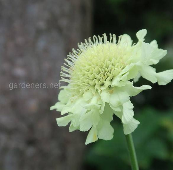 Yellow scabious