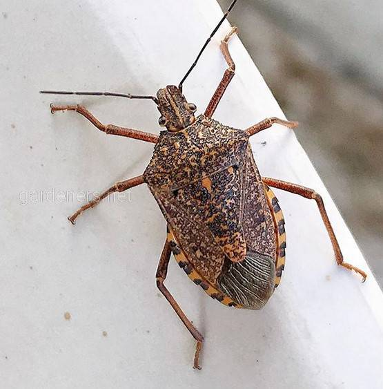 Eurygaster integriceps Puton