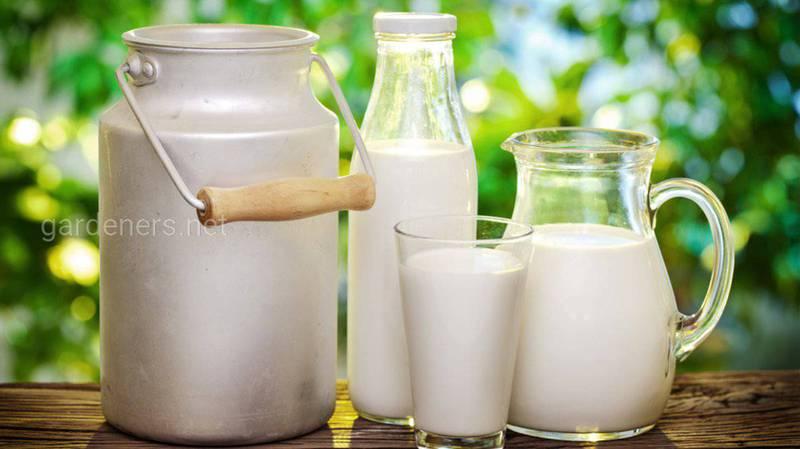 Можно ли молоко взрослым?