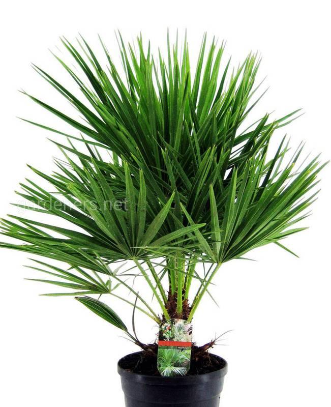 Вибираємо пальму для вітальні : як успішно вирощувати хамеропс та хамедорею?