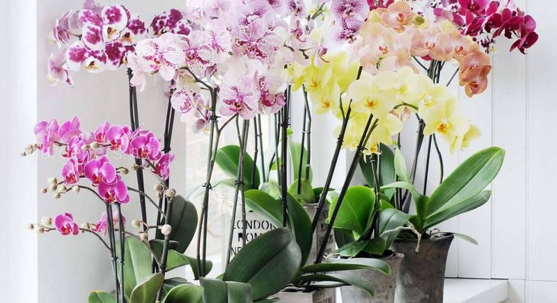 Правильний догляд за орхідеями: П'ять типових помилок, які змушують ці чутливі рослини в'янути