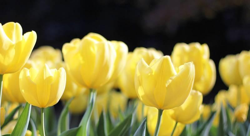 Друзья тюльпанов. Как сделать красивую клумбу?