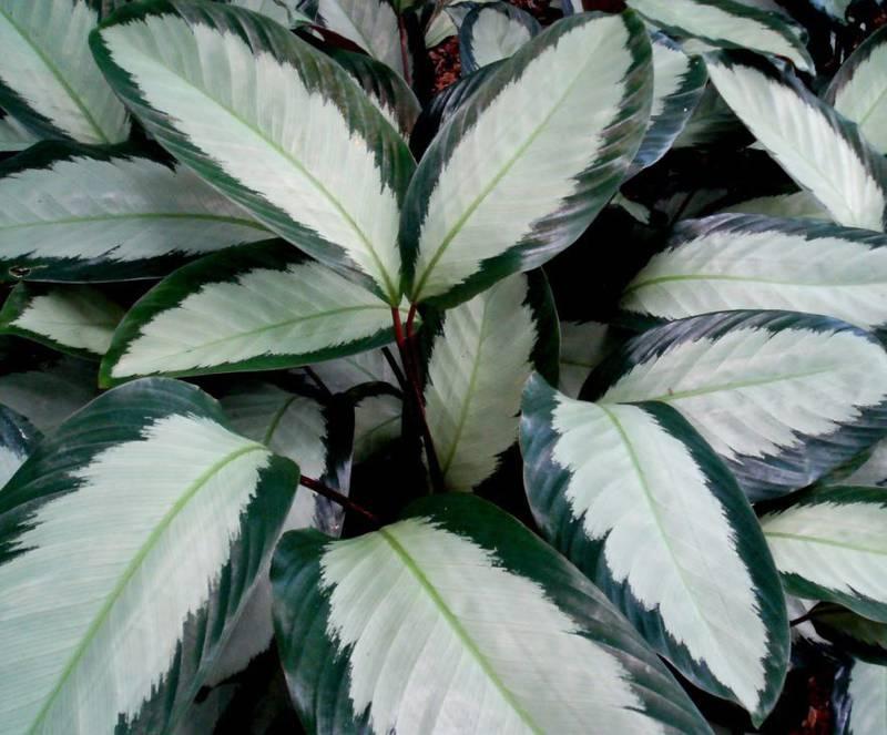Калатея: прекрасная тропическая красавица, которая отблагодарит за заботу о ней