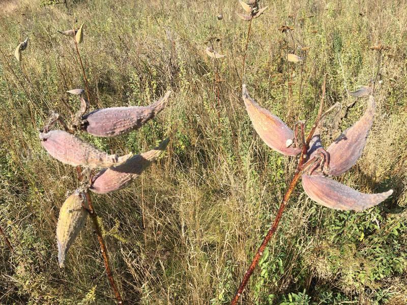 Растение-попугай (ваточник) имеет необычный внешний вид и является злостным сорняком