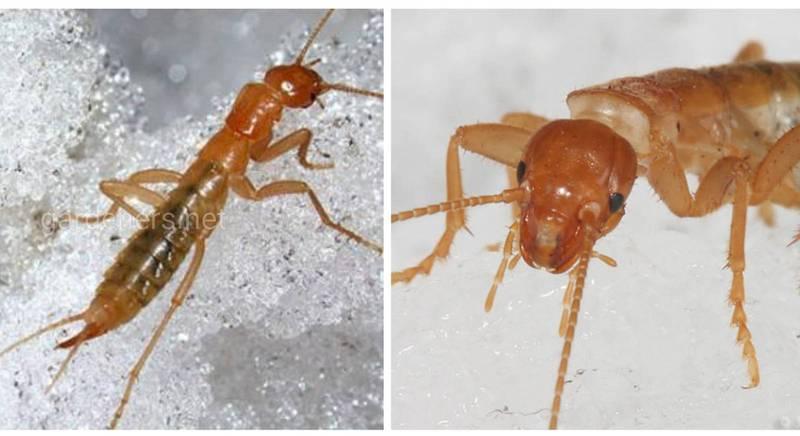 Два вымерших рода тараканосверчков были названы... Dalduba и Vrezalduba!