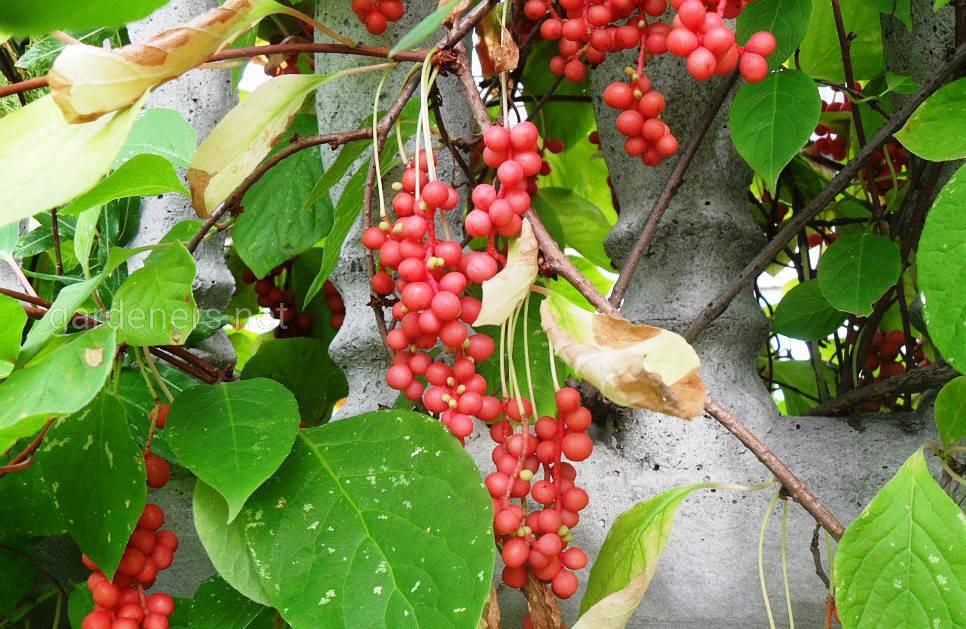 листья и ягоды лимонника