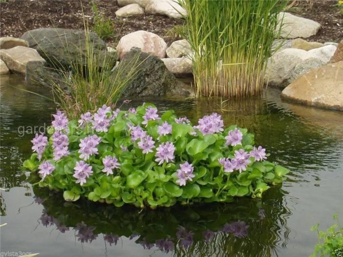 Эйхорния успешно зимует, а весной снова может быть высажена в пруд