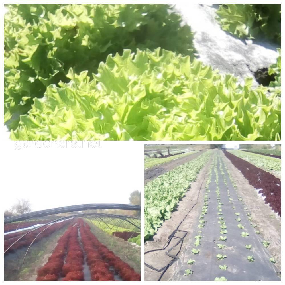 Вирощювання листового салату