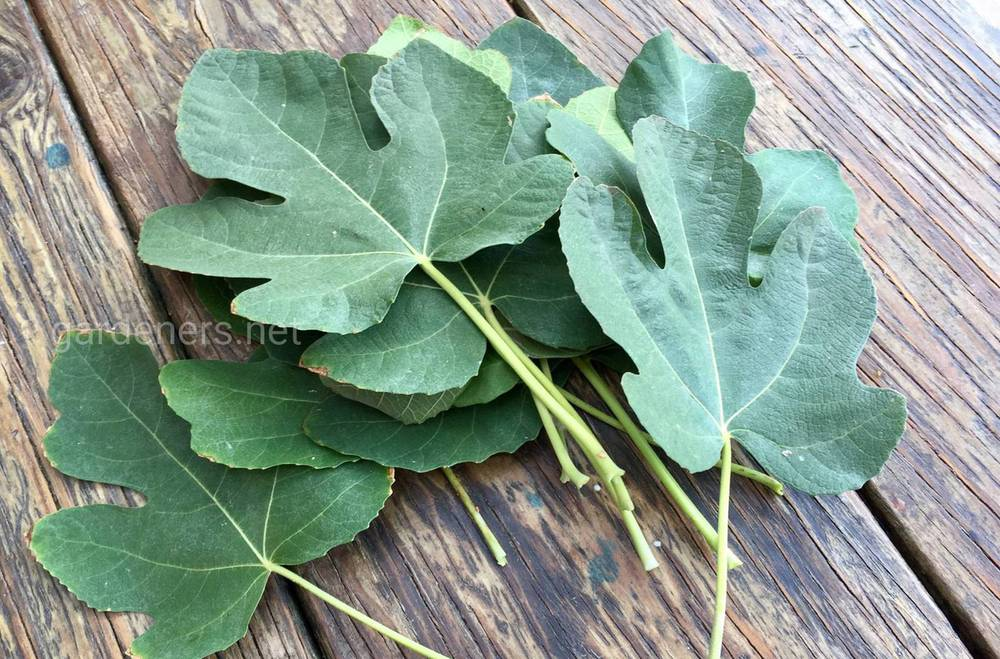 Чай из листьев инжира