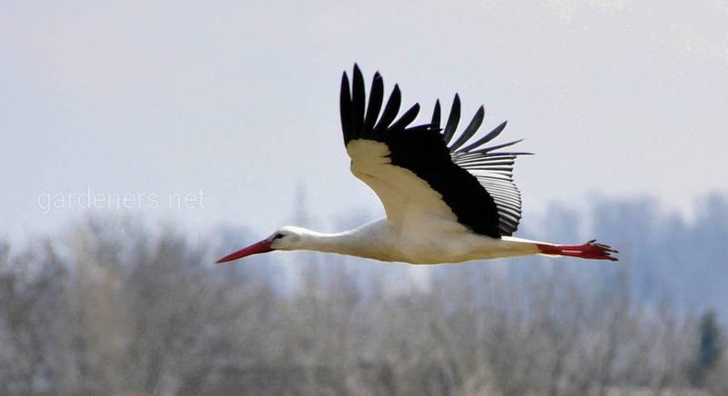 Шлях перелітних птахів: куди вони летять і на що орієнтуються