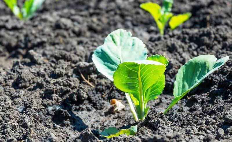 Какие могут возникнуть проблемы при прямом посеве капусты в грунт?
