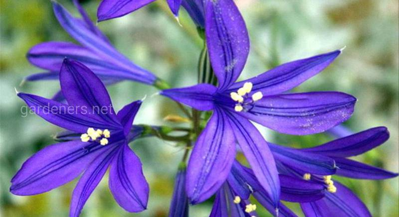Иксиолирион: посадка, полив, удобрение и другой уход за луковичным растением