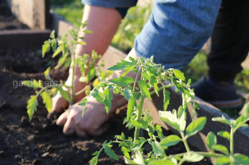 Когда высаживать рассаду томатов в теплицу