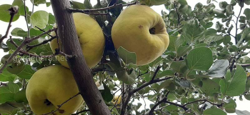 Надоели яблоки? Попробуйте их кузенов!