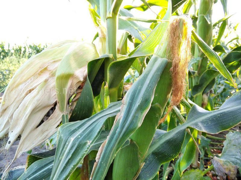 13 цікавих фактів про кукурудзу