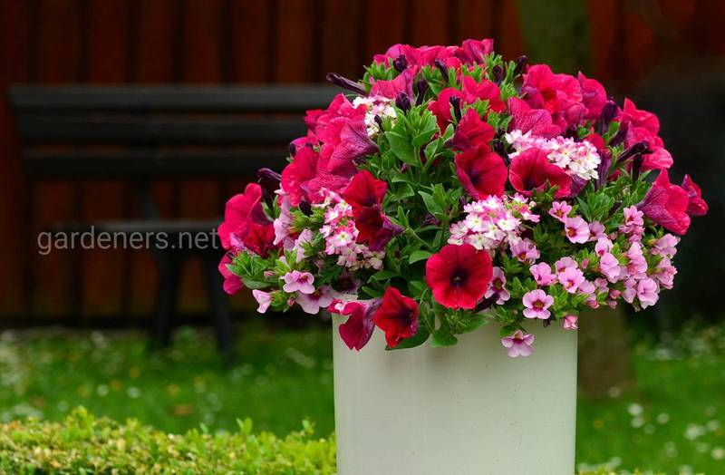 Петуния  - модная любимица флористов или петуния в букете