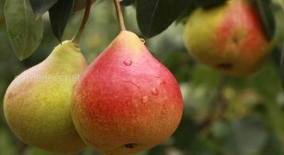 Что приготовить из груш