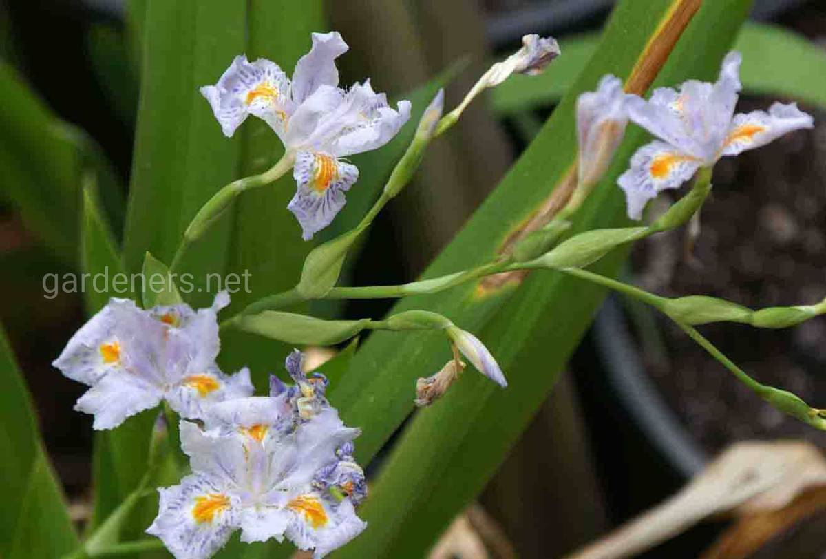 Iris japonica Eco Easter