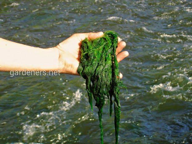 Ловля рыбы на водоросли