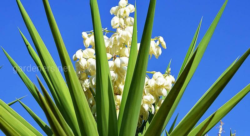 Юкка: неприхотливое растение для сада. Выбираем оптимальное место, полив и удобрение для юкки