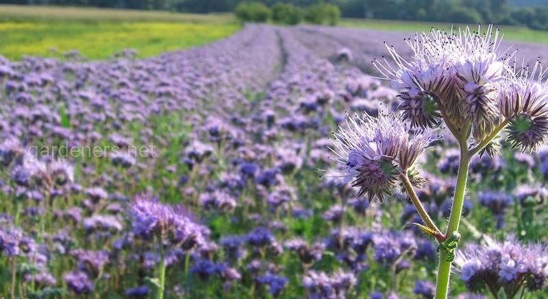 Фацелия — выращивание и сорта, описание самых популярных