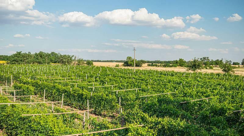 Органическое выращивание винограда: какие применяются удобрения и средства защиты от заболеваний и вредителей?
