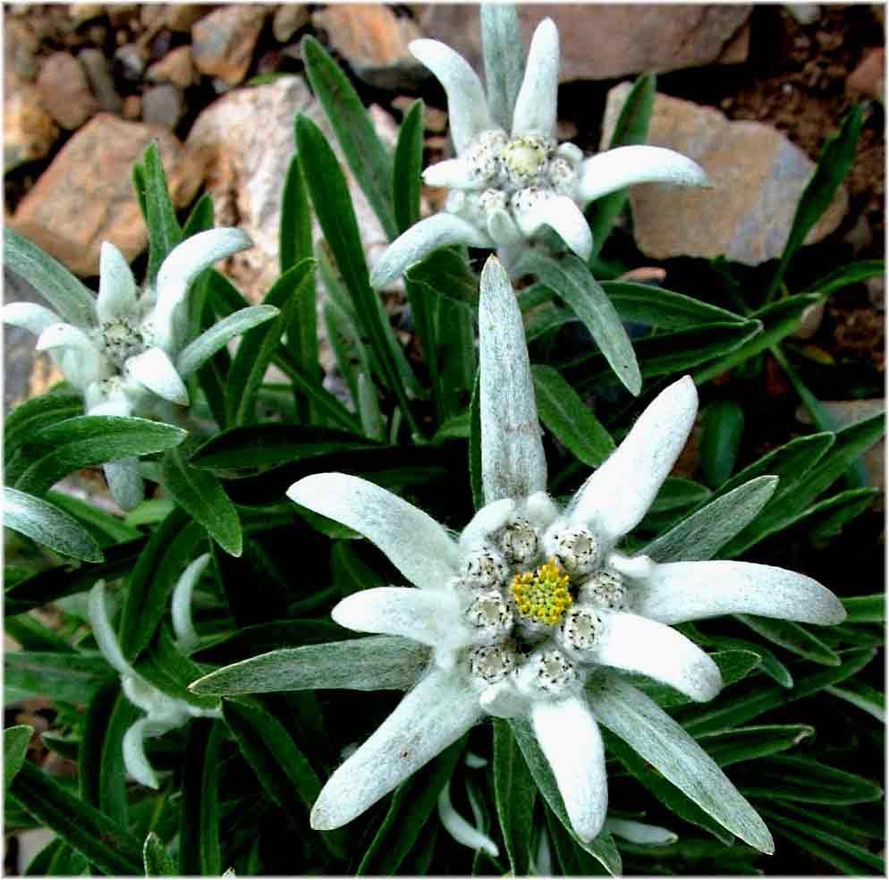 Фото эдельвейса цветка