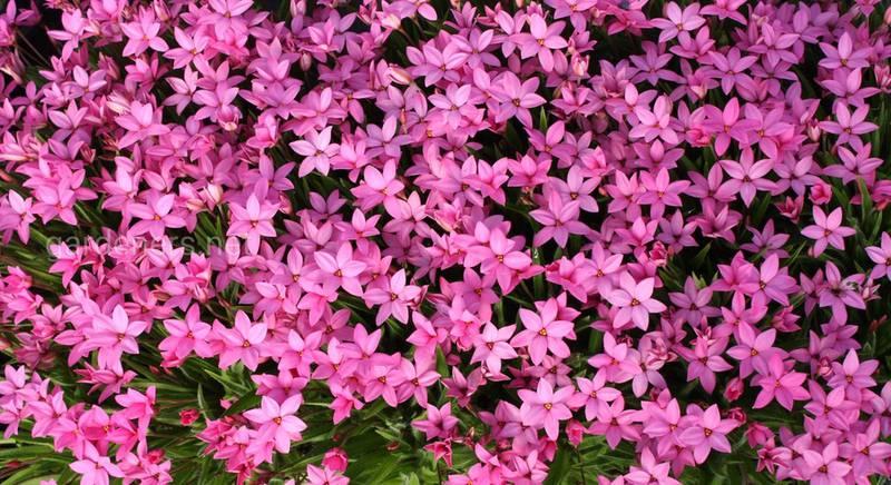 Родогипоксис: посадка и уход за красиво цветущим растением