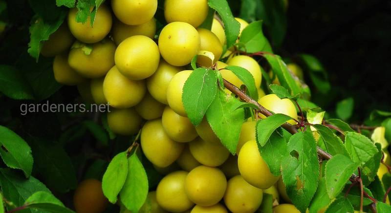 Сорта желтой сливы