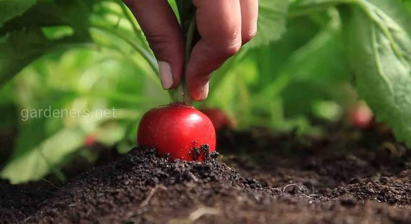 Вибір насіння для посадки редису