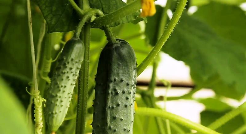 Самоопыляемые сорта огурцов. Выращиваем овощи в теплице