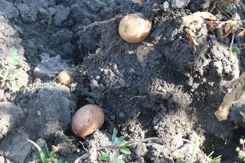 ТОП-8 причин неврожаю картоплі