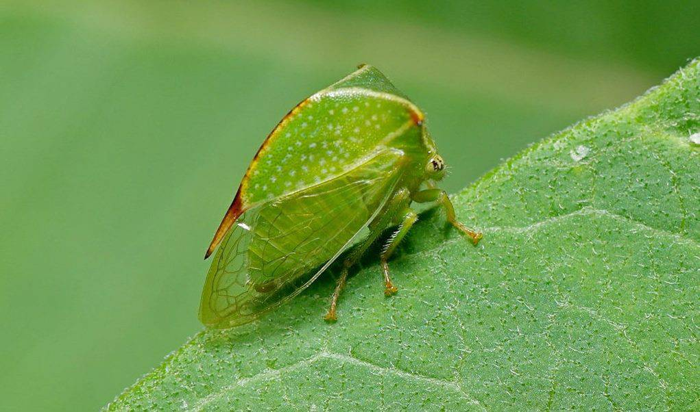Буйволовидная цикада