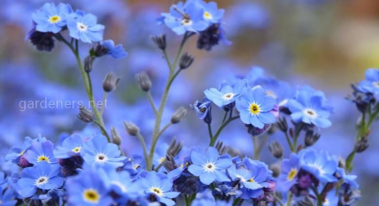 Прекрасные незабудки: декоративные цветы с целебными свойствами