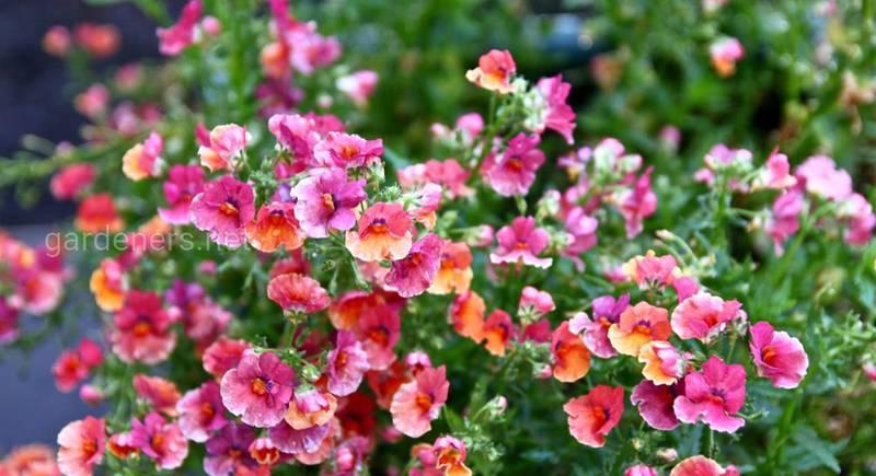 Выращивание, размножение и уход за немезией