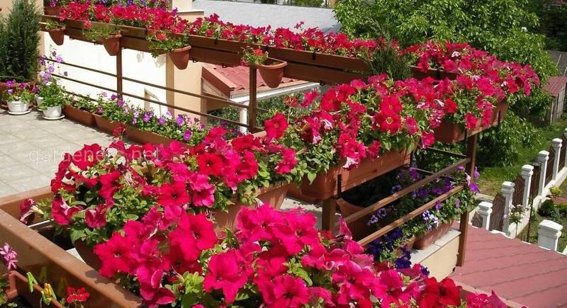 Пять неприхотливых балконных красавиц