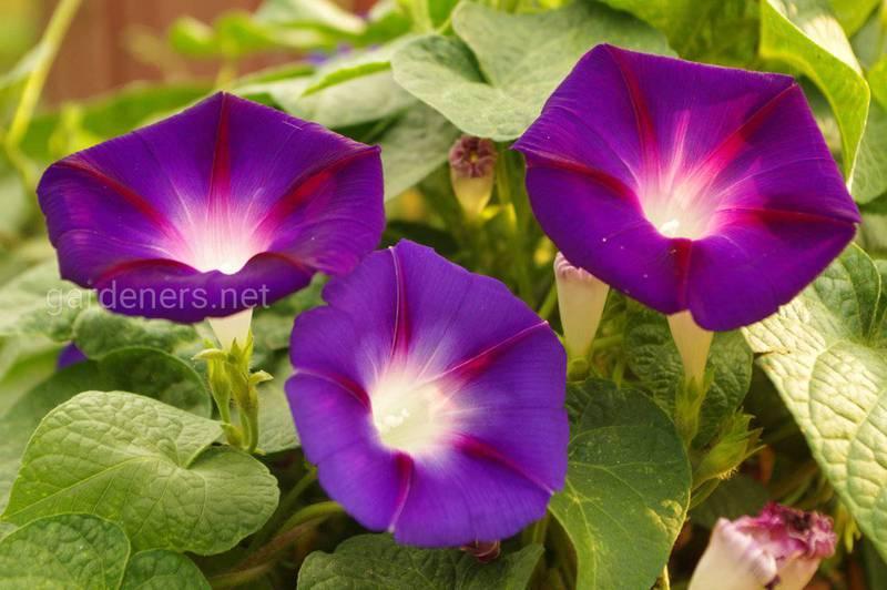 Які квіти можна вирощувати біля східного вікна або на балконі?