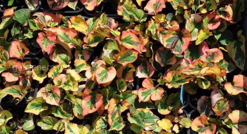 Хауттюйния: привлекательное растение для садоводов. Виды и сорта