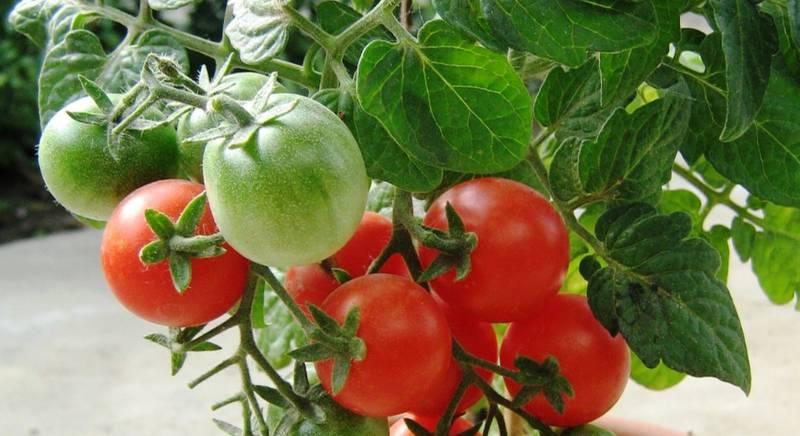 Особенности штамбовых томатов